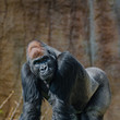 Gorillas Can Use The Pill