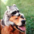 Golden Retriever & Raccoon