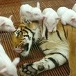 Tiger & A Whole Lot Of Piglets
